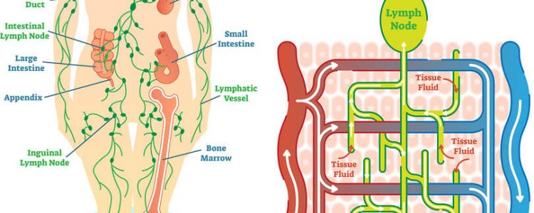 What is the lymphatic system and what role does it play in fat freezing?